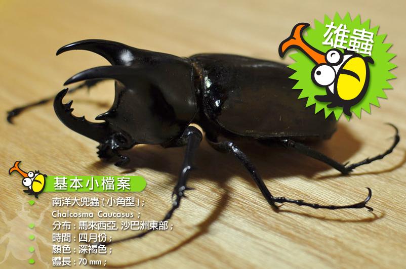 南洋大兜蟲 ( 小角型 )