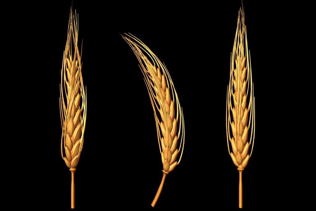 Сделать пшеницу своими руками